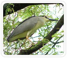 Night Heron, Kumarkom Bird Sanctuary