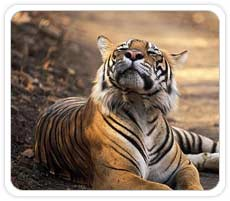 Tiger at Ranthambhore National Park